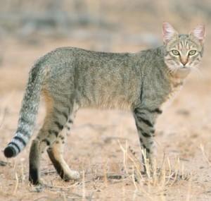 African-wildcat-300x285.jpg